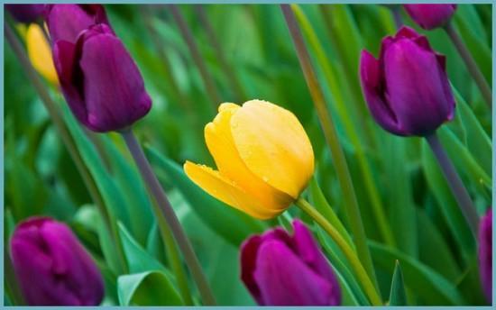 какие бывают тюльпаны