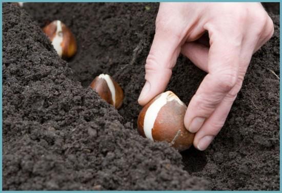 как правильно высаживать луковицы тюльпанов