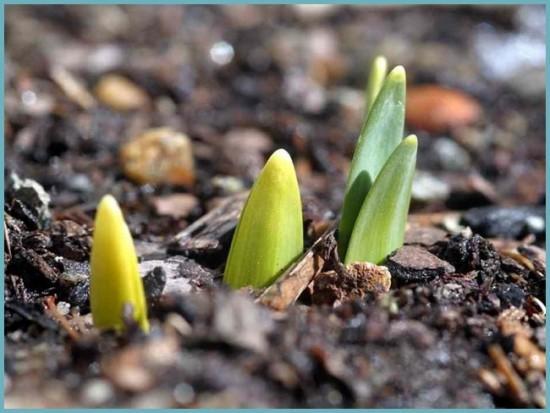 как вырастить тюльпаны на даче