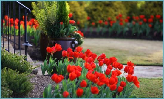 как высадить тюльпаны на клумбе