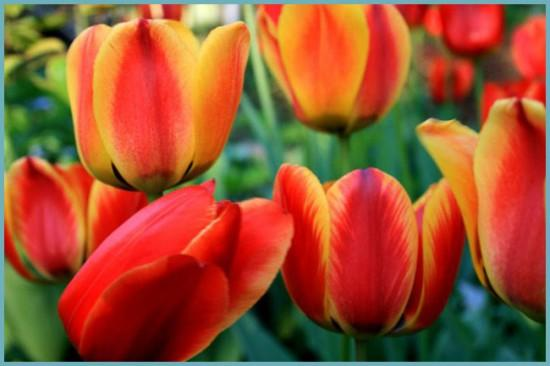 сорта и виды тюльпанов