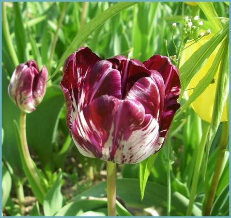 разновидности экзотических тюльпанов