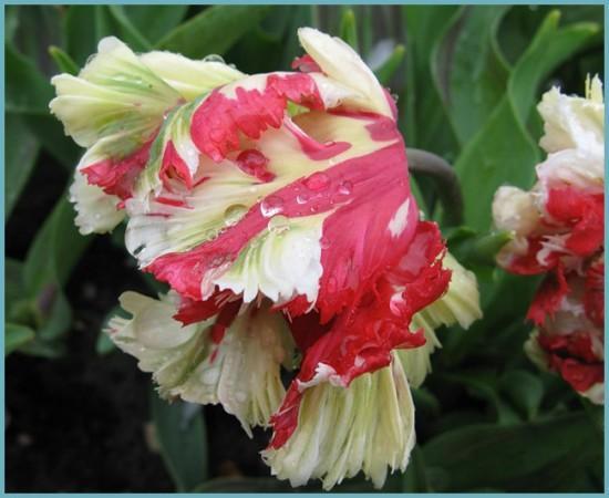 экзотические тюльпаны