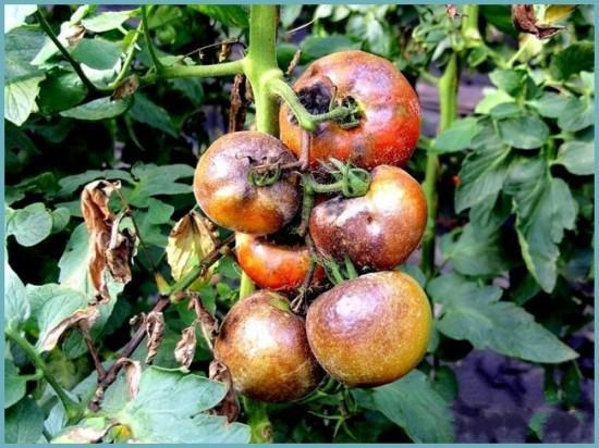 болезни тепличных помидоров