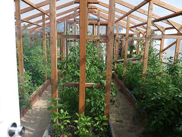 томаты в теплице