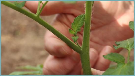 формирование куста томатов
