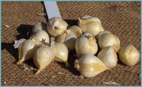 размножение декоративного лука