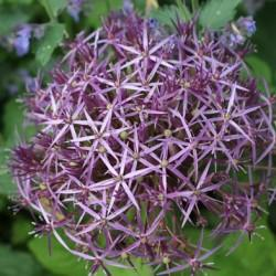 выращивание декоративного лука