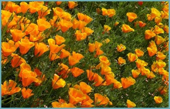 выращивание калифорнийского мака