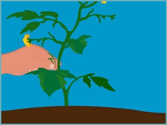 пасынкование томата в теплице