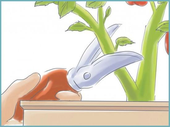 правила формирования куста томата