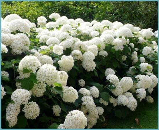 разновидности садовой гортензии
