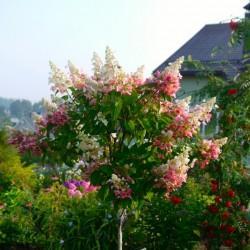 выращивание гортензии