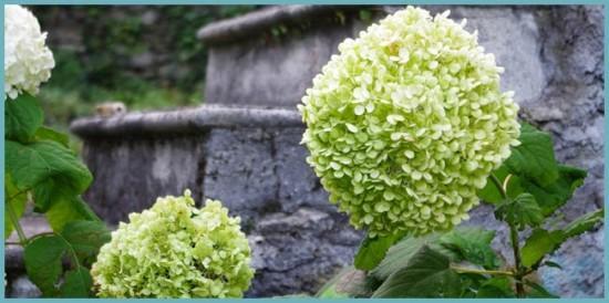 виды садовой готрензии