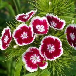 выращивание гвоздики турецкой