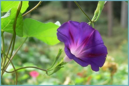 как посадить ипомею