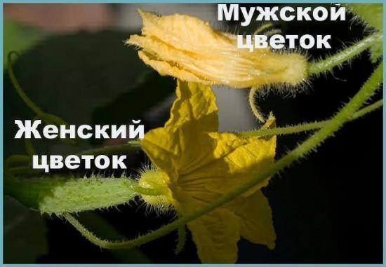 цветение огурца в теплице