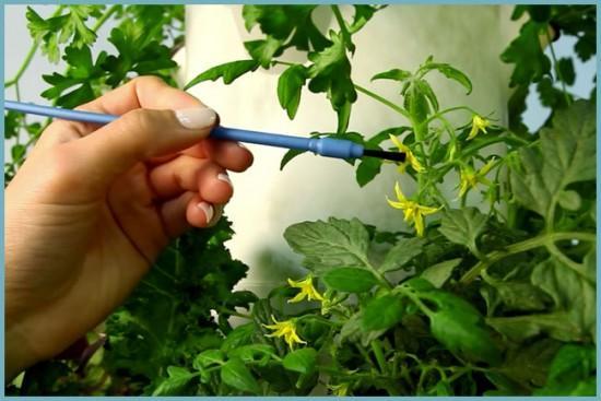 ручное опыление томатов