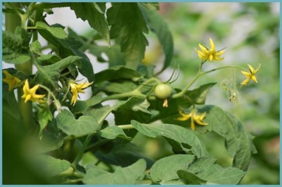как опылять томаты в теплице