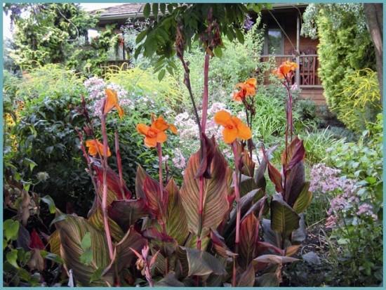 сочетание канны с другими растениями