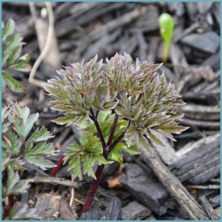 выращивание клопогона из семян