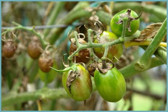 фитофтора помидоров