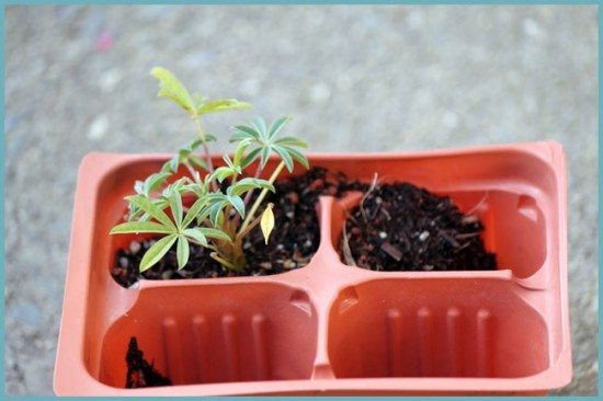 выращивание люпина из семян