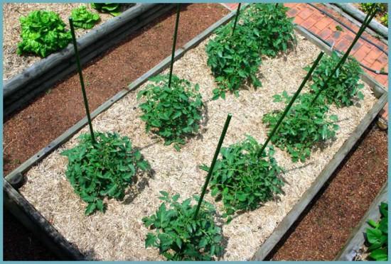 томаты выращивание