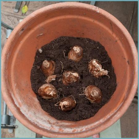 проращивание луковиц нарциссов
