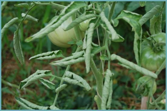 недостаточный полив томатов