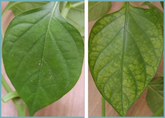 желтение листьев перца
