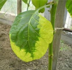 желтеют листья перцев
