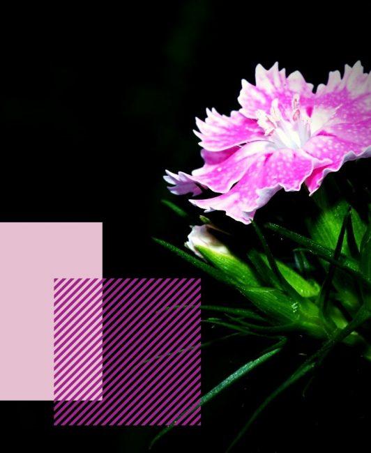 Гвоздика садовая в сочетании с другими растениями