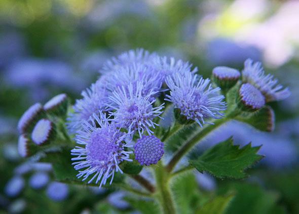 Место для высадки агератума нужно выбрать Агератум – выращивание из семян когда сажать + пошаговая инструкция.