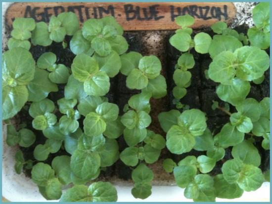 выращивание агератума в открытом грунте