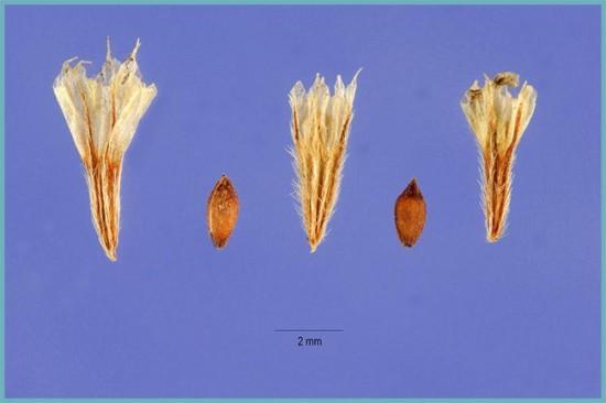 размножение армерии семенами
