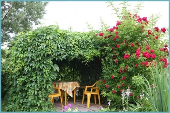 девичий виноград в саду