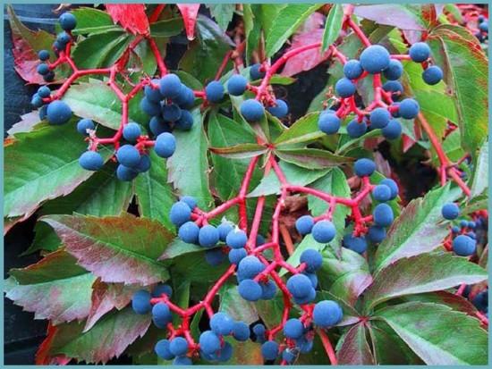 виды девичьего винограда