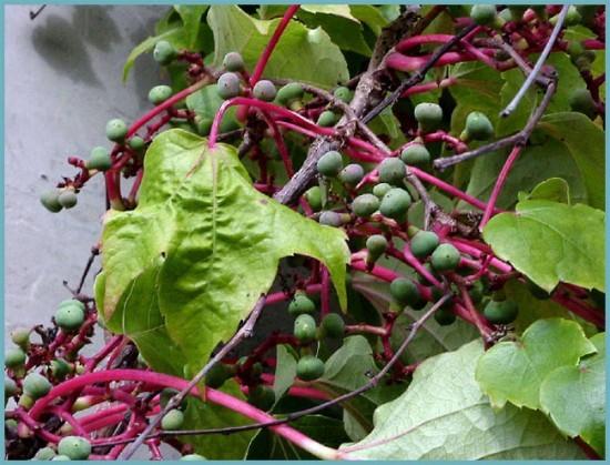 посадка девичьего винограда