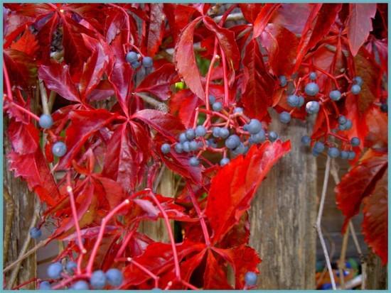 опора для девичьего винограда