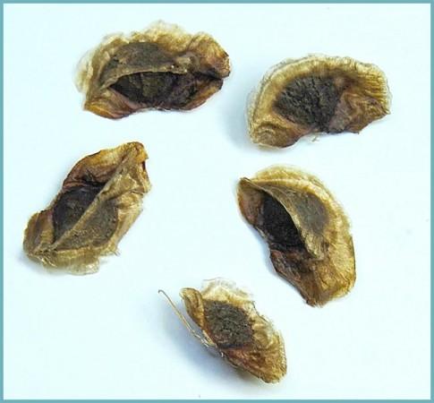 выращивание эремуруса из семян