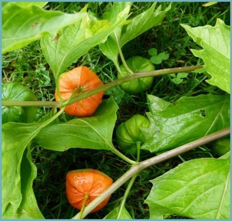 сорта и виды физалиса