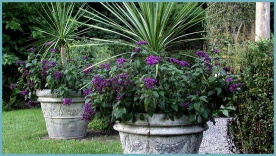 сочетание гелиотропа с другими растениями