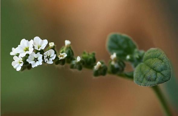 выращивание гелиотропа