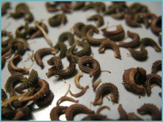 размножение календулы
