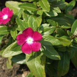 выращивание катарантуса