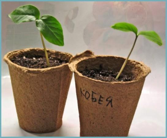 выращивание кобеи из семян
