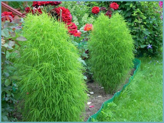 кохия с другими растениями