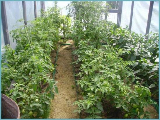 микроклимат для выращивания томатов
