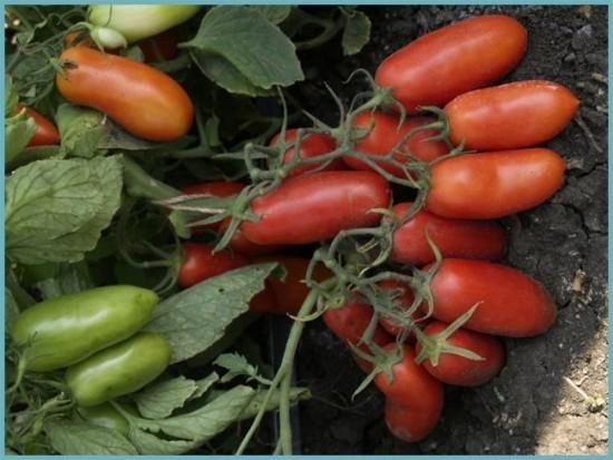 сорта крупных томатов